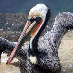 Brown Pelican Portrait II